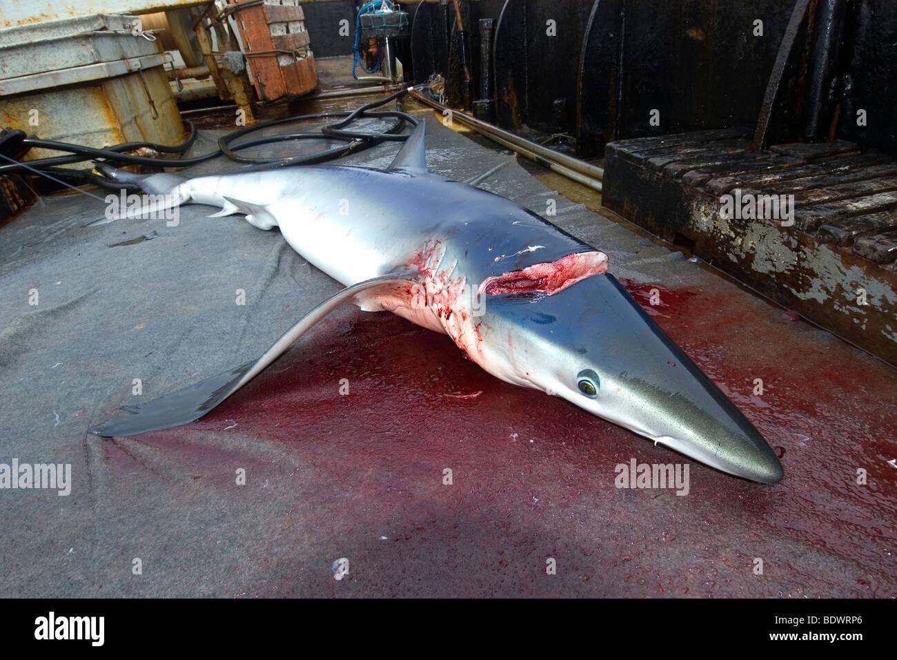 Dead blue shark, Prionace glauca, offshore commercial longline shark fishing, Brazil, Atlantic Ocean Stock Photo