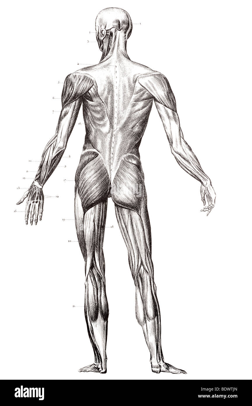 The Human Muscle Structure Stock Photos The Human Muscle Structure