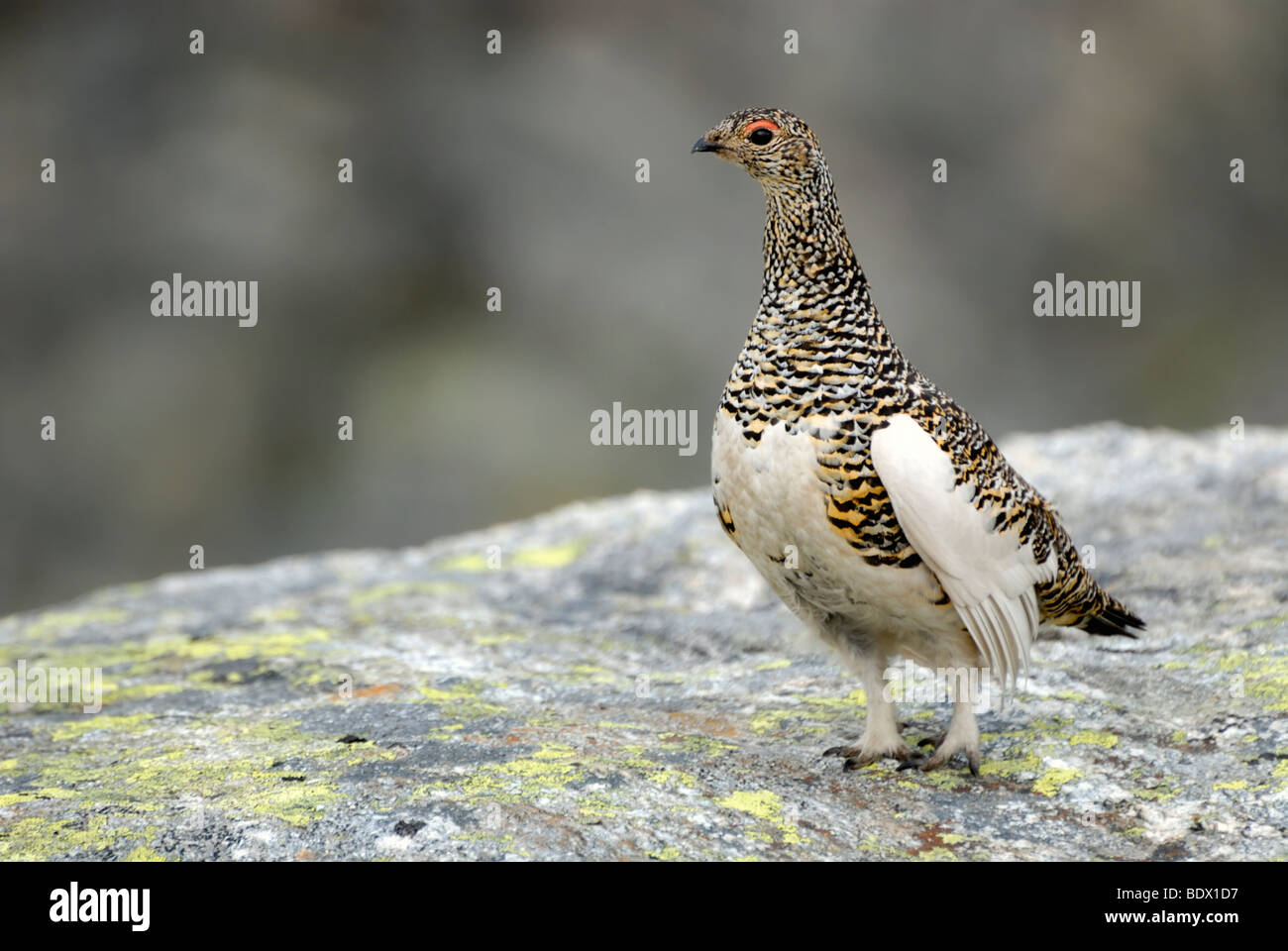 Female Ptarmigan (Lagopus muta) in the summer plumage, Folgefonna National Park, Hardanger region, Norway, Europe Stock Photo
