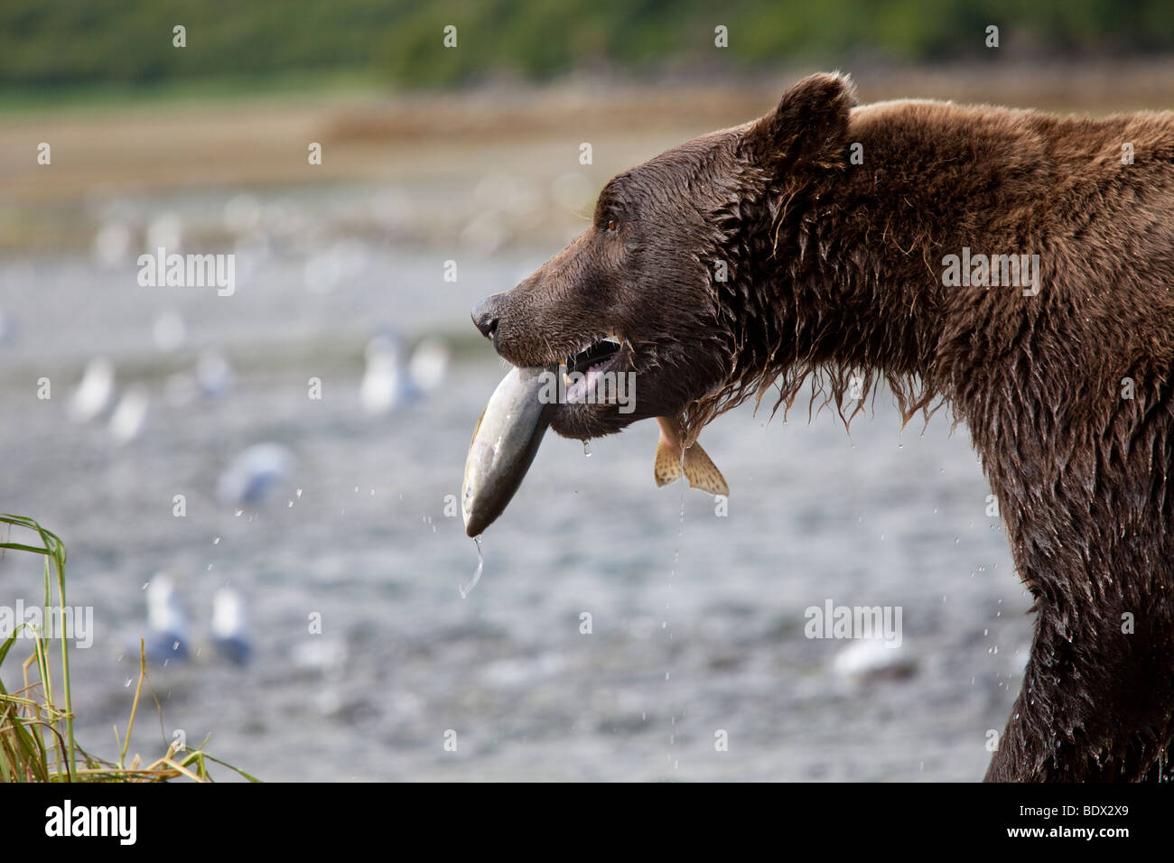 Grizzly bear catching salmon victory walk in Geographic Bay Katmai National Park Alaska - Stock Image