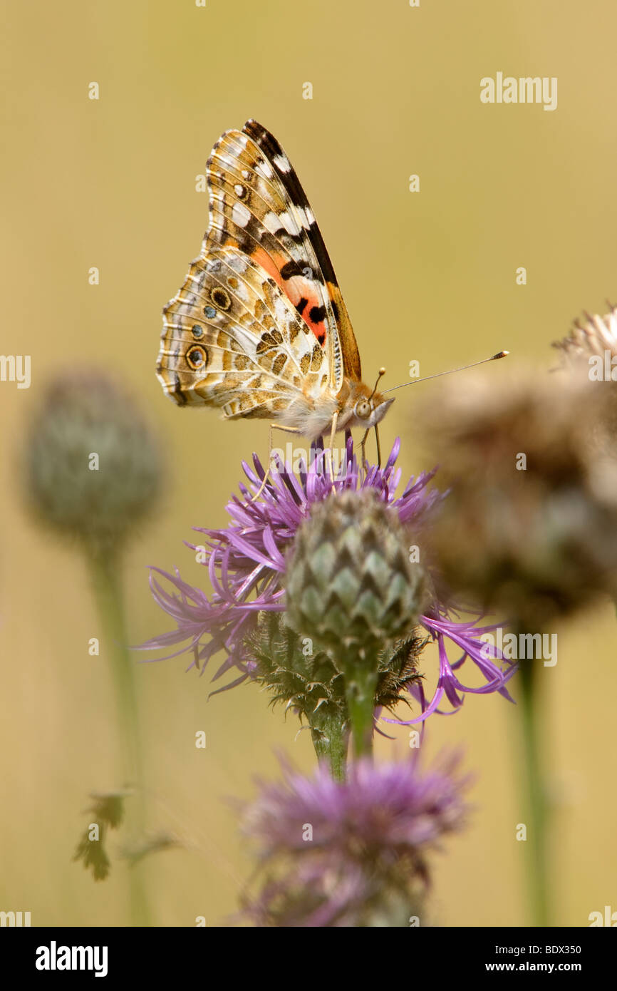 Painted Lady butterfly Cynthia cardui on greater knapweed Centaurea scabiosa. Second generation. - Stock Image