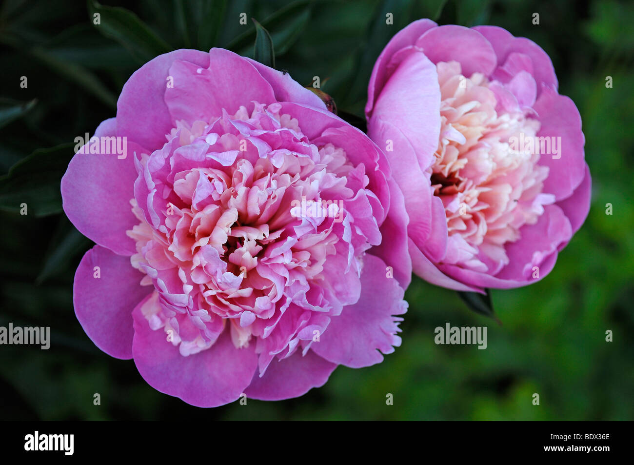 Peonies (Paeonia officinalis) flowers Stock Photo