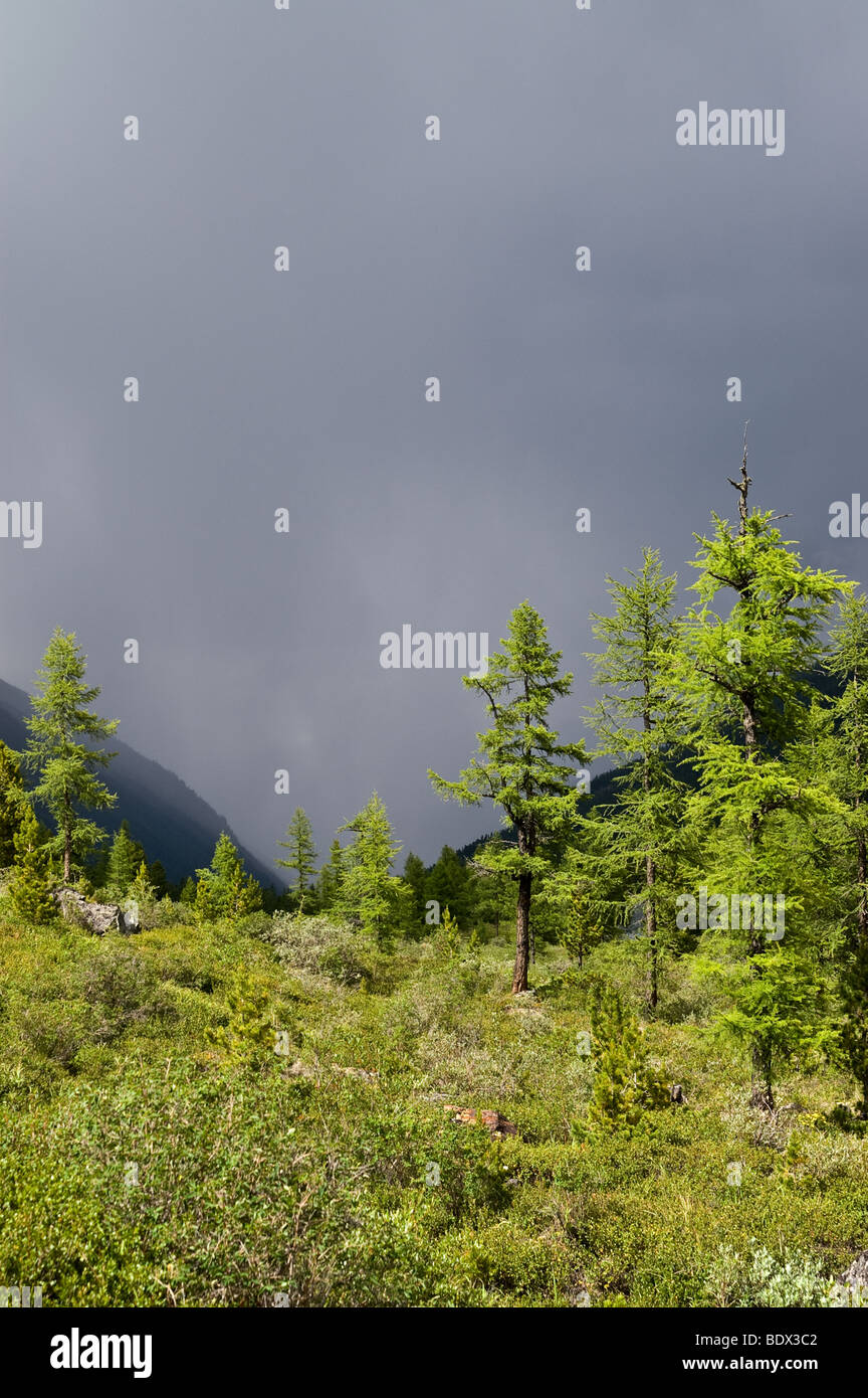 Larch trees illuminated with sun in front of storm clouds. Altai, Russia. - Stock Image
