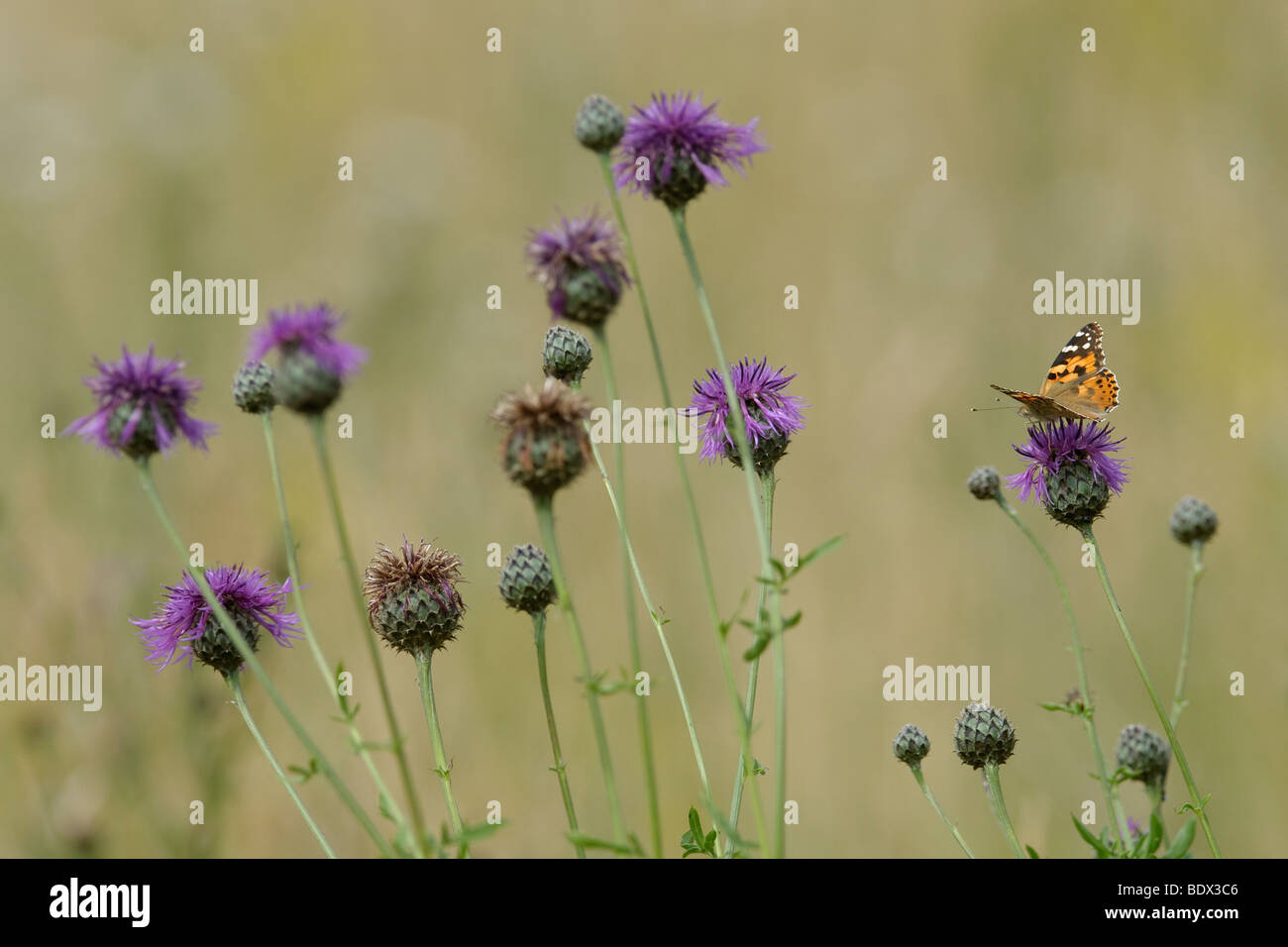 Painted Lady butterfly Cynthia cardui on greater knapweed Centaurea scabiosa. Second generation. Stock Photo