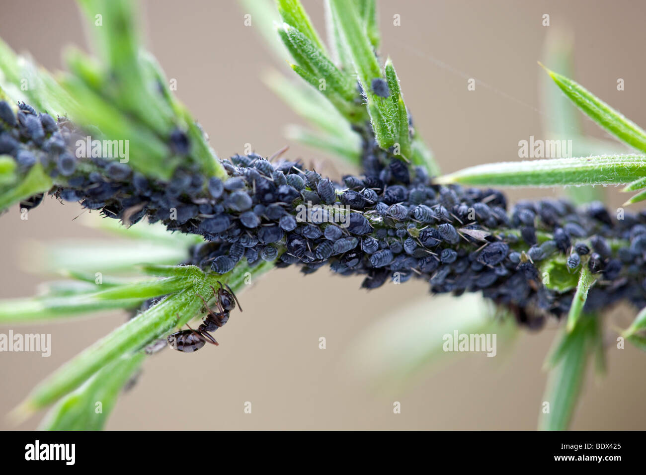 colony of aphids on gorse; ants feeding on the aphid's honeydew - Stock Image