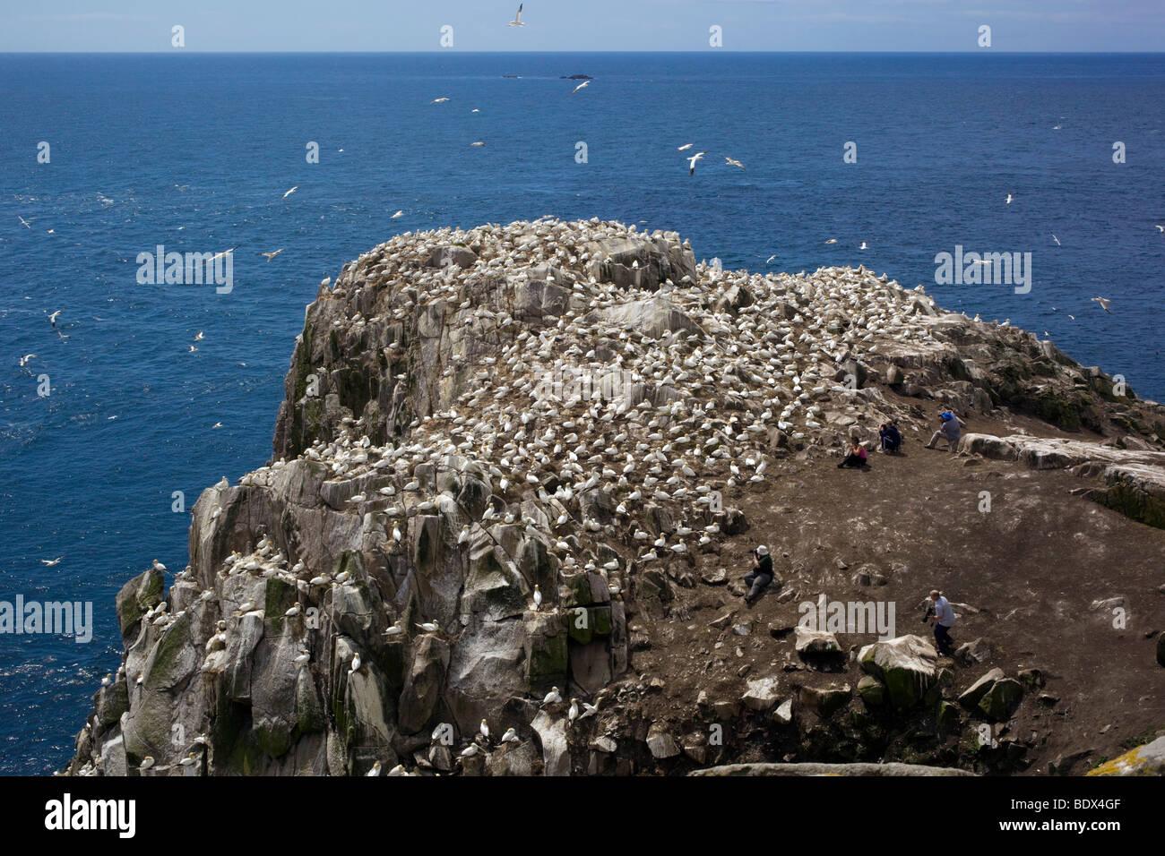 great saltee gannet colony; ireland - Stock Image