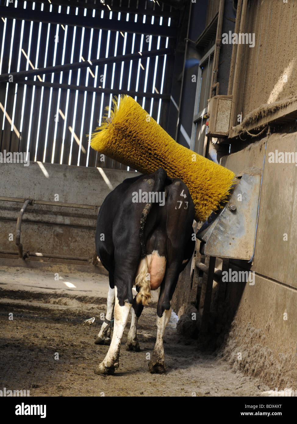 A friesian cow having his back scratched - Stock Image