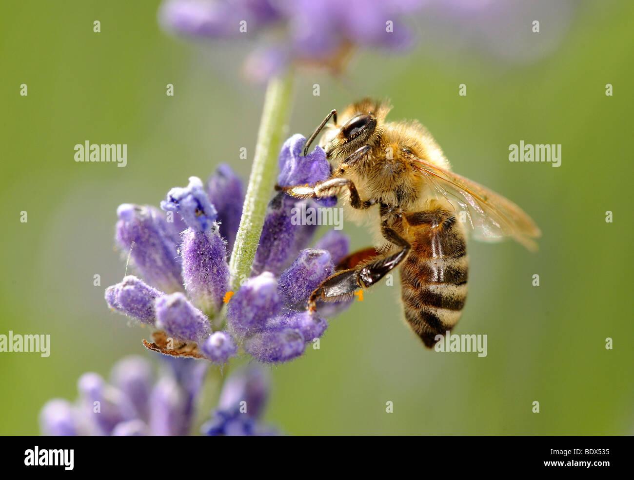 Honeybee (Apis) feeding on Common or True Lavender (Lavandula angustifolia) - Stock Image