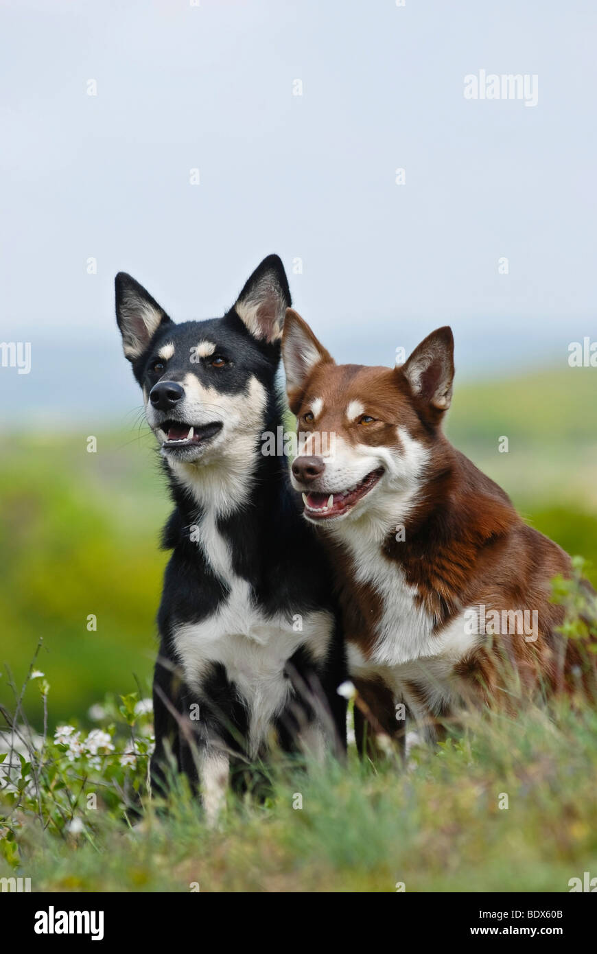 Two Lapponian Herder, Lapinporokoira or Lapp Reindeer dogs sitting on a flowery meadow - Stock Image