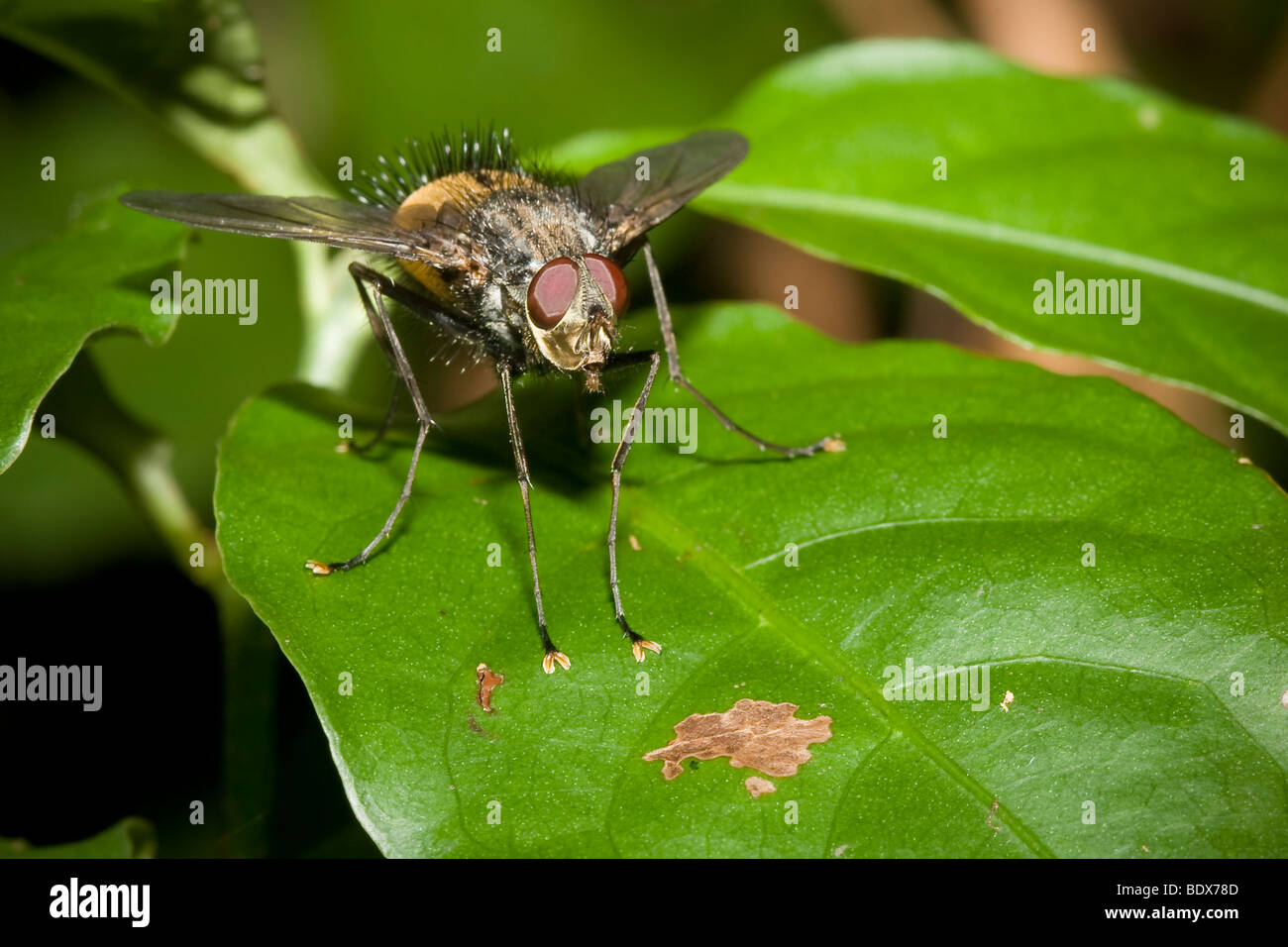 Tachinid fly, order Diptera, family Tachinidae. Photographed in Costa Rica. Stock Photo