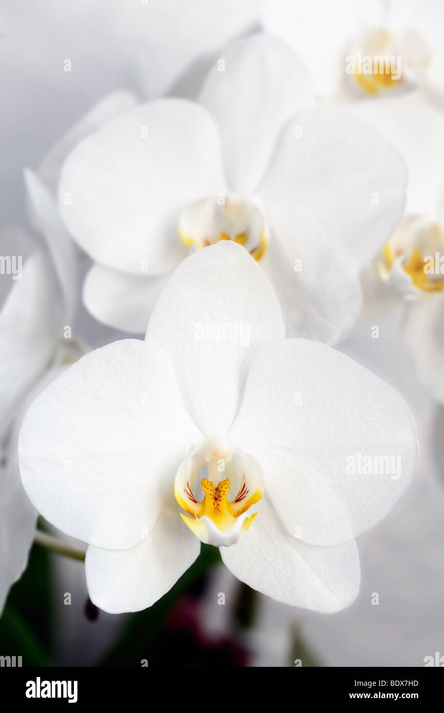 A collection of white Phalaenopsis (moth orchid) blooms - Stock Image