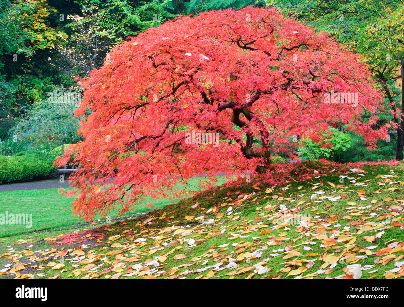 Japanese Maple Tree In Fall Color Portland Japanese Gardens