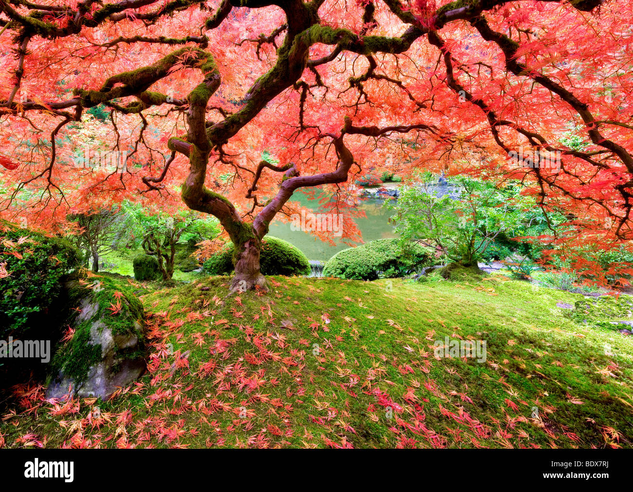 Japanese Maple tree in fall color. Portland Japanese Gardens. Oregon - Stock Image