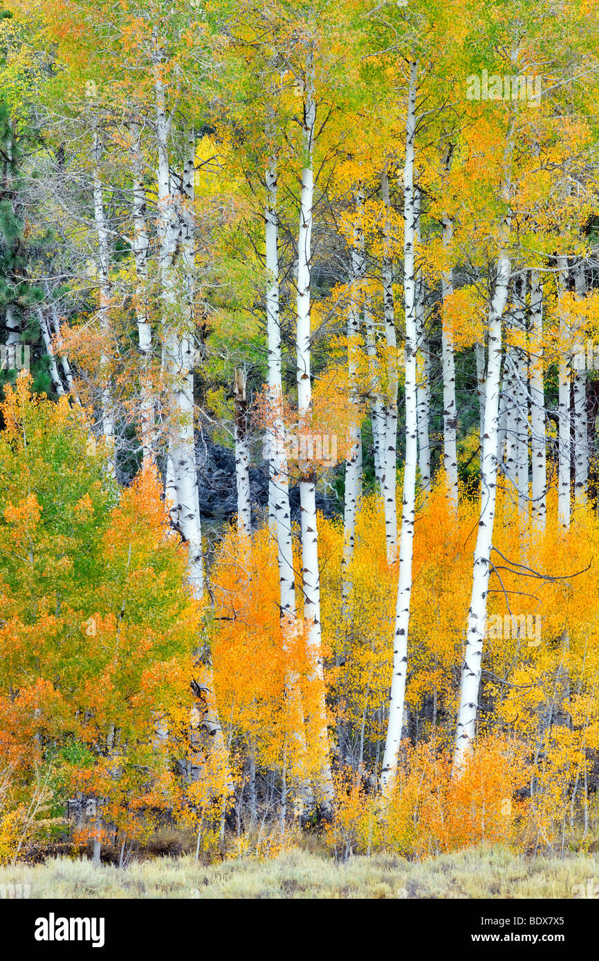 Fall colored aspen trees. Inyo National Forest. California - Stock Image