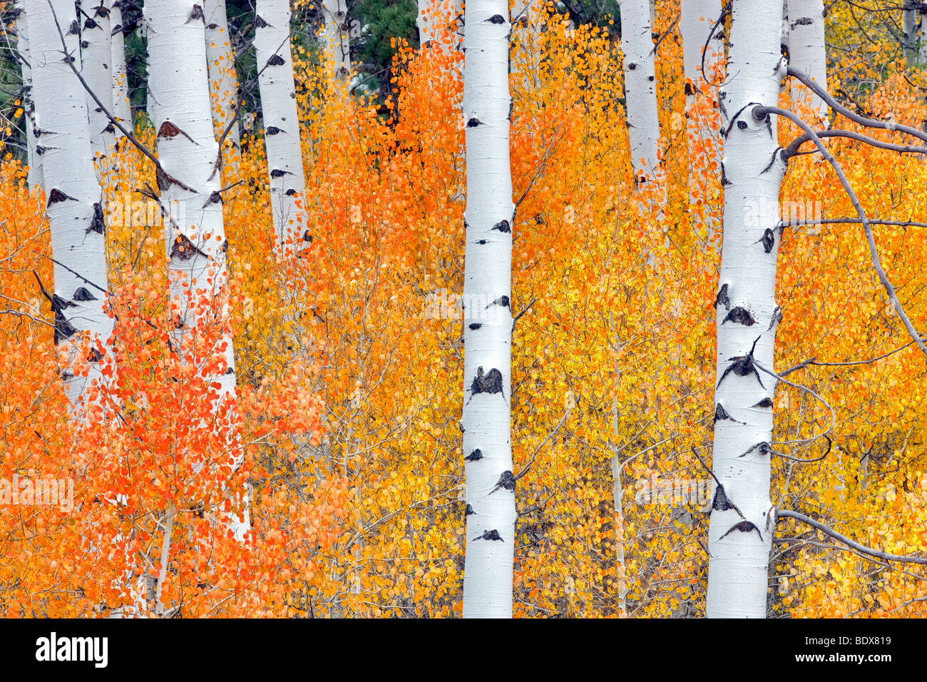 Close up of fall colored aspen trees. Inyo National Forest. California - Stock Image