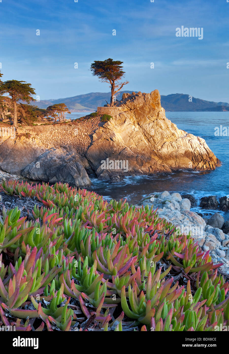 Lone Monterey Cypress tree and Pacific Ocean with Ice Plant. 17 Mile Drive. Pebble Beach, California - Stock Image