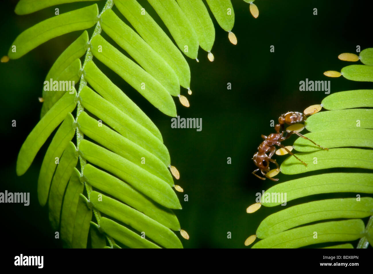 Pseudomyrmex Ants On A Bullhorn Acacia Gathering Beltian Bodies For