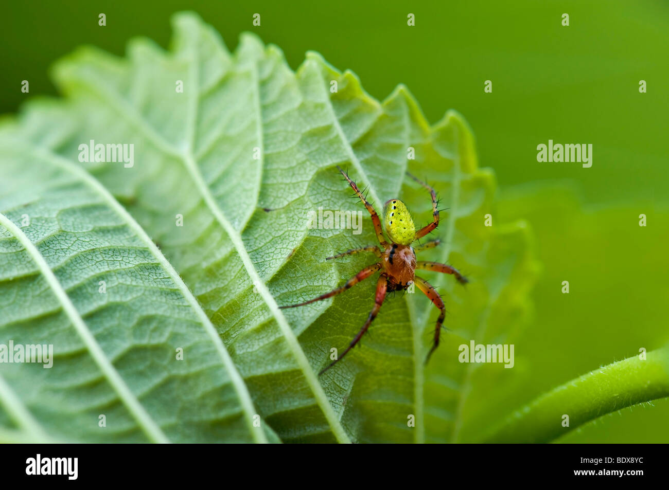 Cucumber green spider (Araniella cucurbitina) - Stock Image