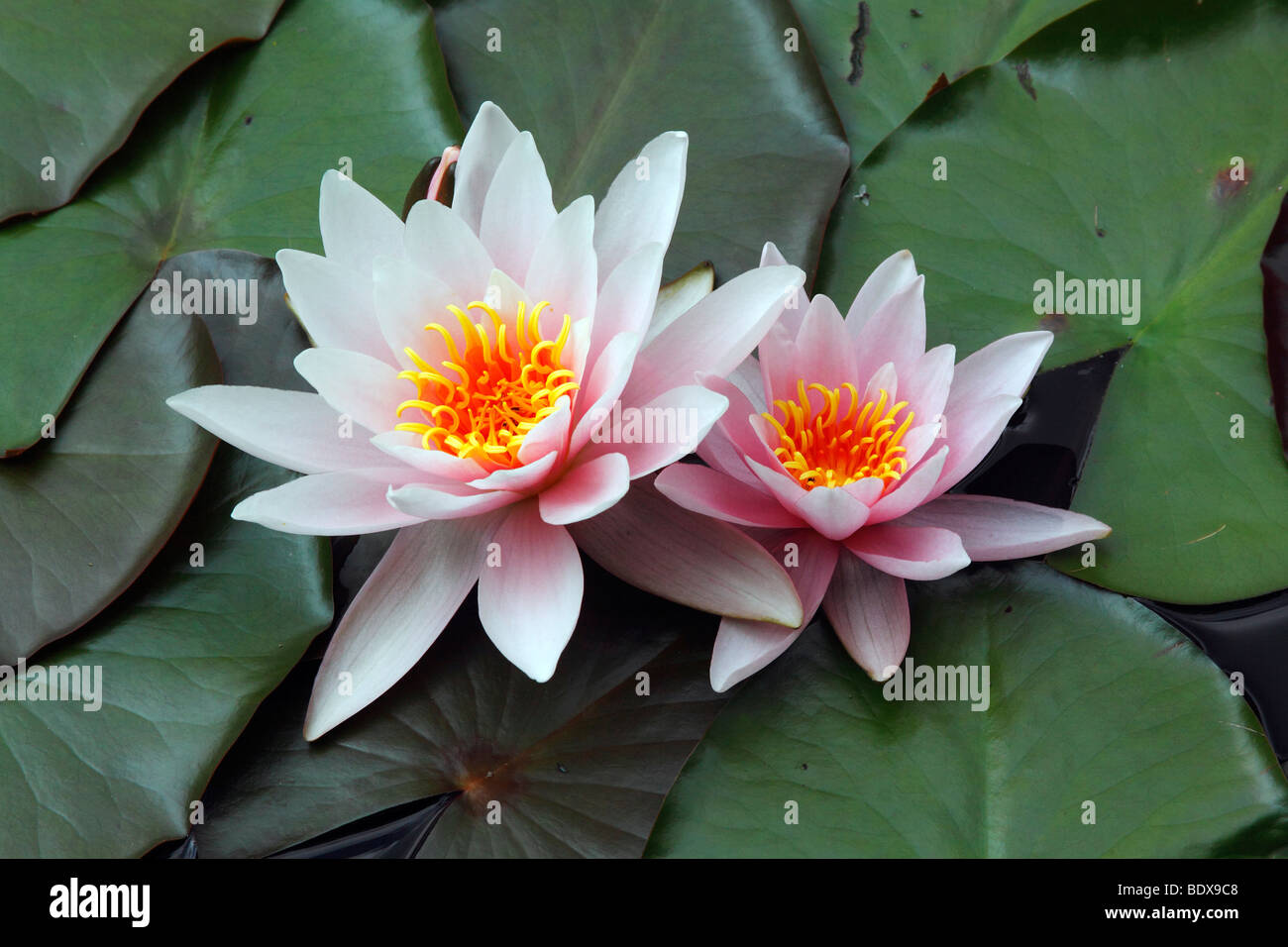 Flowering Water lilies (Nymphaea cultivar) - Stock Image
