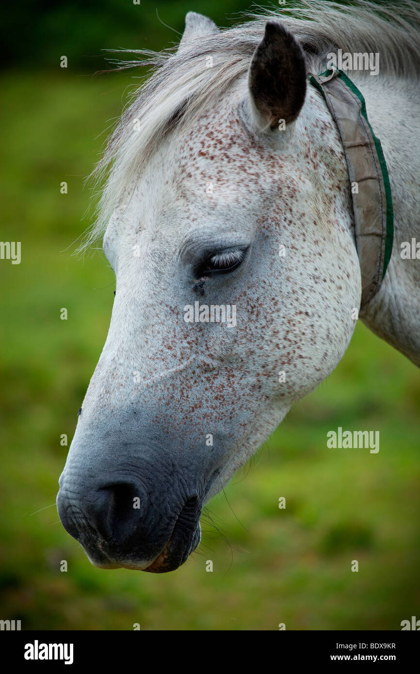Portrait of white speckled horse in the New Forest - Stock Image