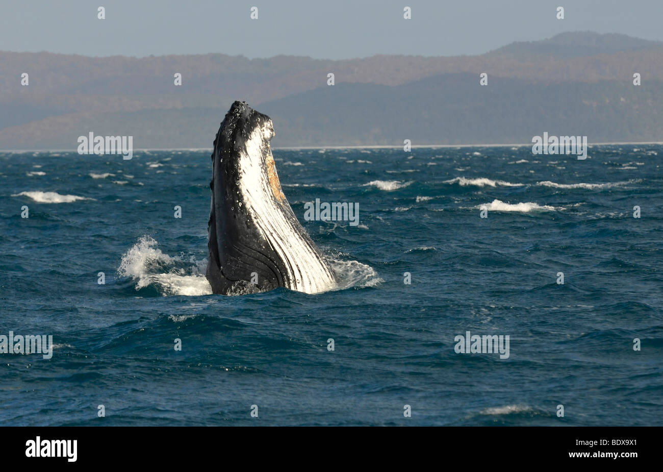 Species-specific spy hop, temporarily rising its head out of the water, of a Humpback Whale (Megaptera novaeangliae) - Stock Image