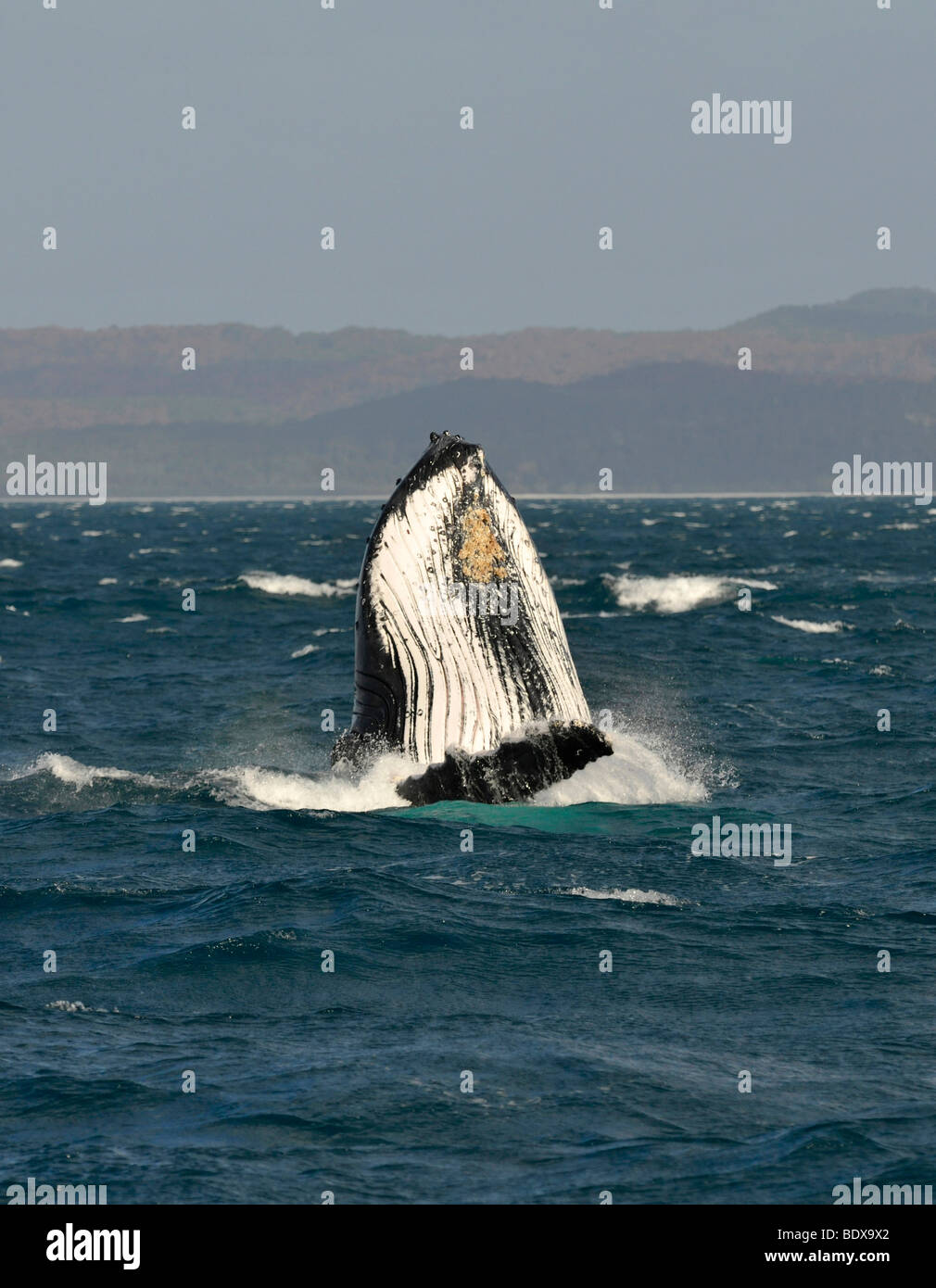 Species-specific spy hop, temporarily rising its head out of the water, of a Humpback Whale (Megaptera novaeangliae) Stock Photo