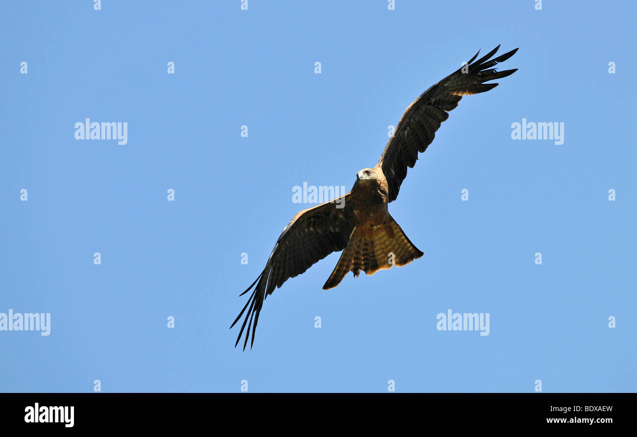 Flying Wedge-tailed eagle (Aquila audax), Queensland, Australia - Stock Image
