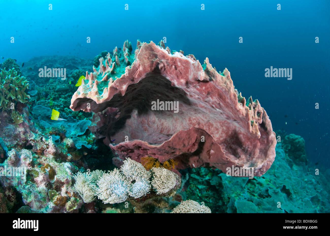 Giant barrel sponge (Xestospongia testudinaria), Indonesia - Stock Image