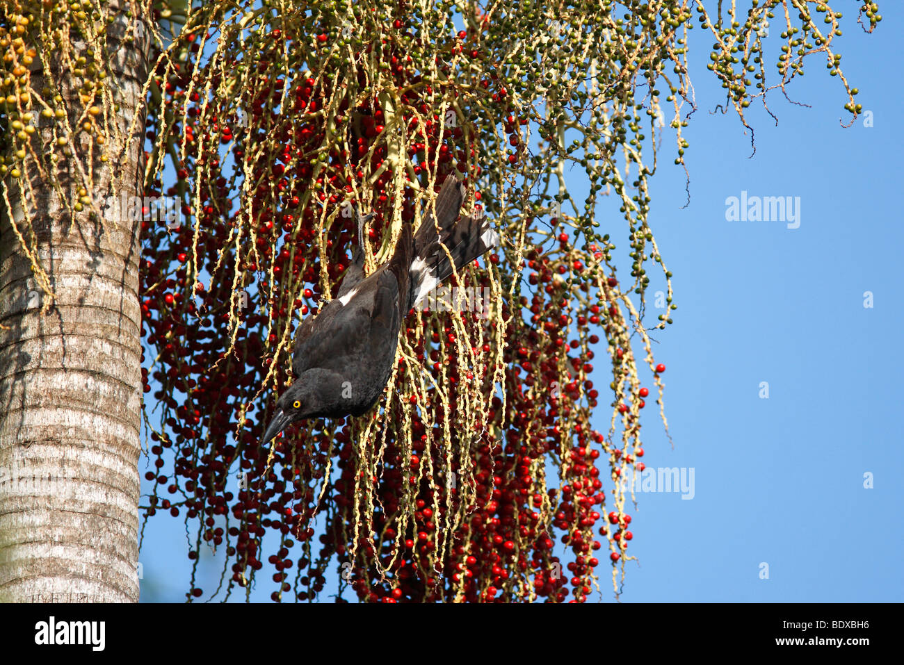 Pied currawong, Strepera graculina, eating the fruit of the Alexandra Palm - Stock Image