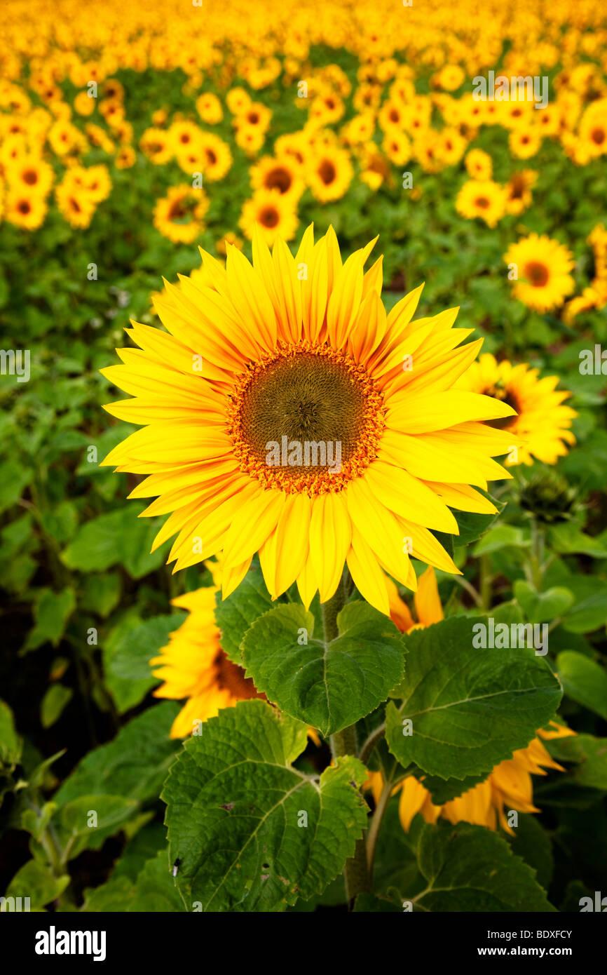 Sunflower near Hartleppol Tees Valley - Stock Image