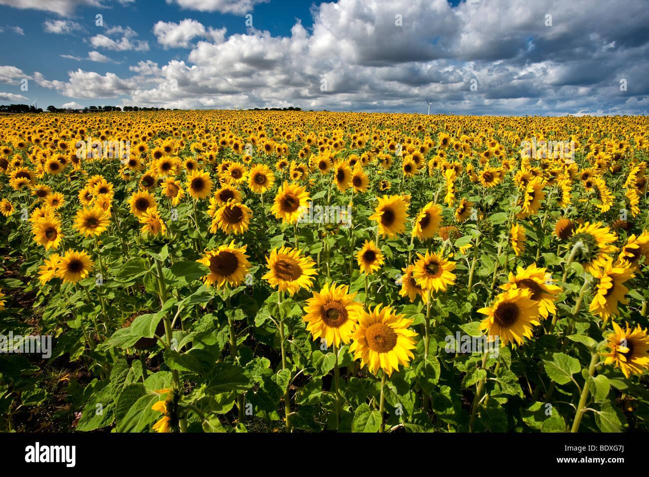 Field of Sunflowers near Hartlepool Tees Valley - Stock Image