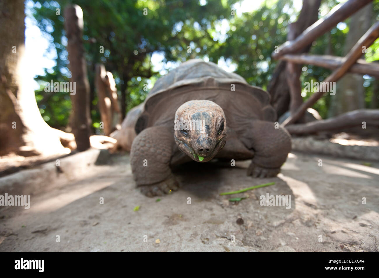 Tortoise from the Seychelles, which has been imported to Zanzibar, Prison Iceland, Zanzibar, Tanzania, Africa - Stock Image