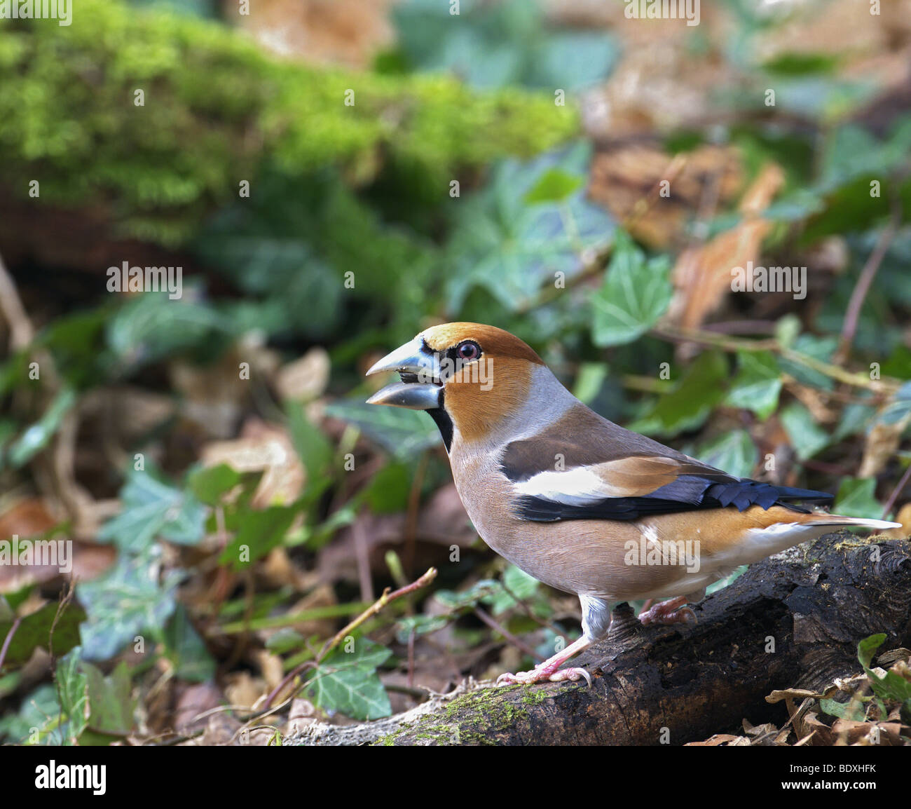 FEMALE HAWFINCH COCCOTHRAUSTES  PERCHED ON A BRANCH ON THE GROUNG FEEDING. WEST SUSSEX UK - Stock Image