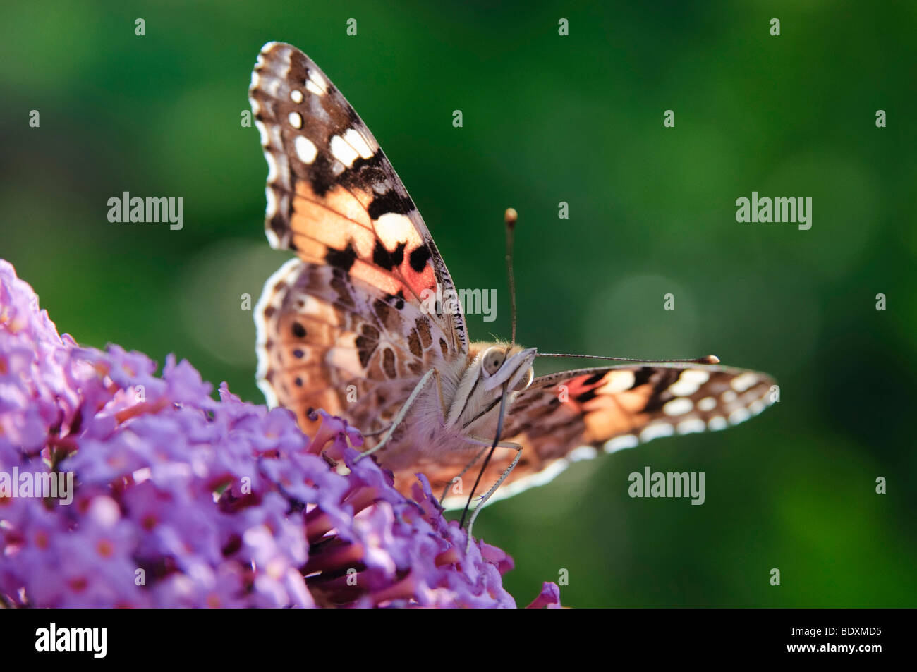 Painted Lady (Vanessa cardui) sitting on a flower of Summer Lilac (Buddleja davidii) Stock Photo