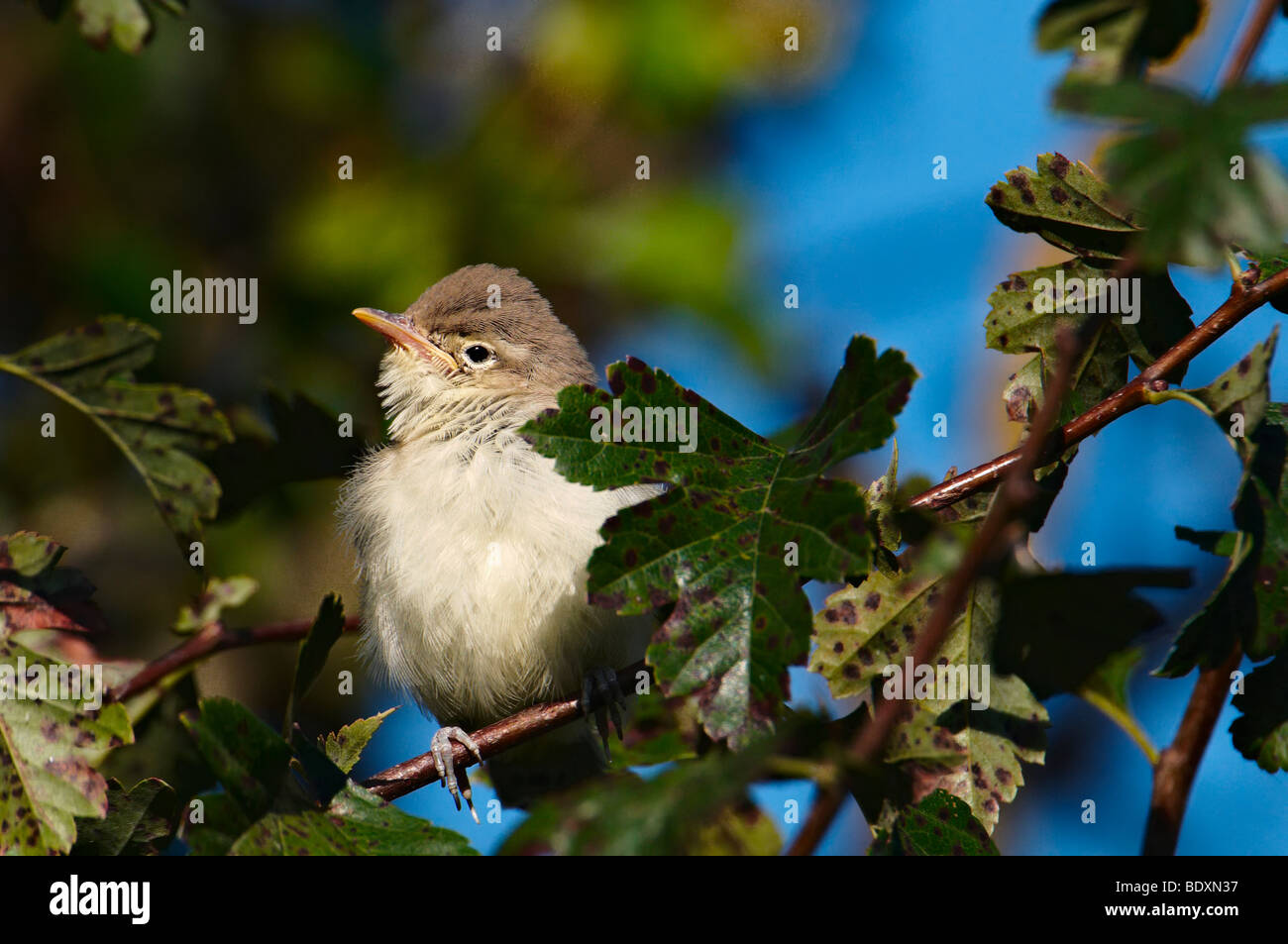 Willow warbler (Phylloscopus trochilus) - Stock Image