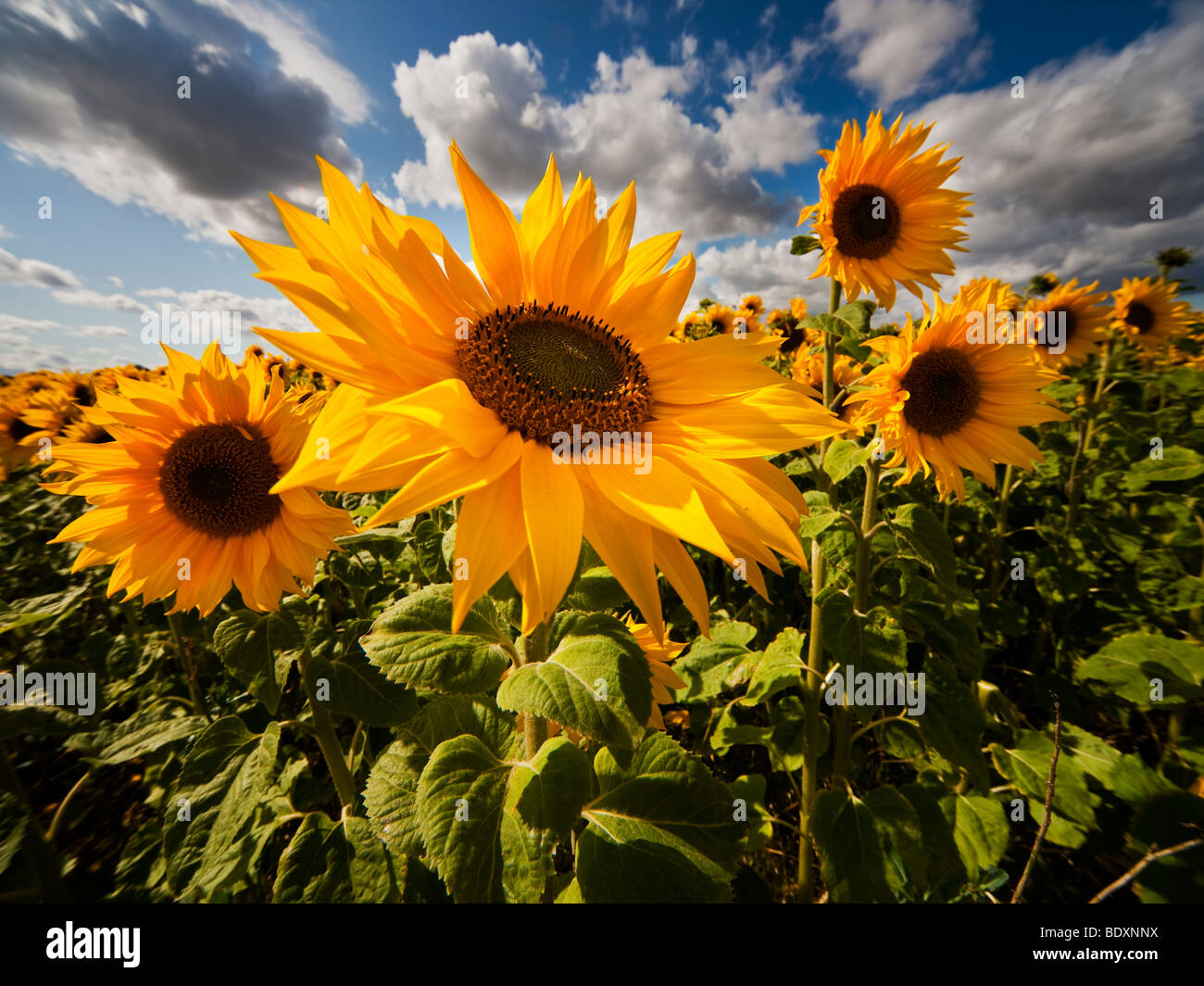 Experimental crop of Sunflowers in Northern England - Stock Image
