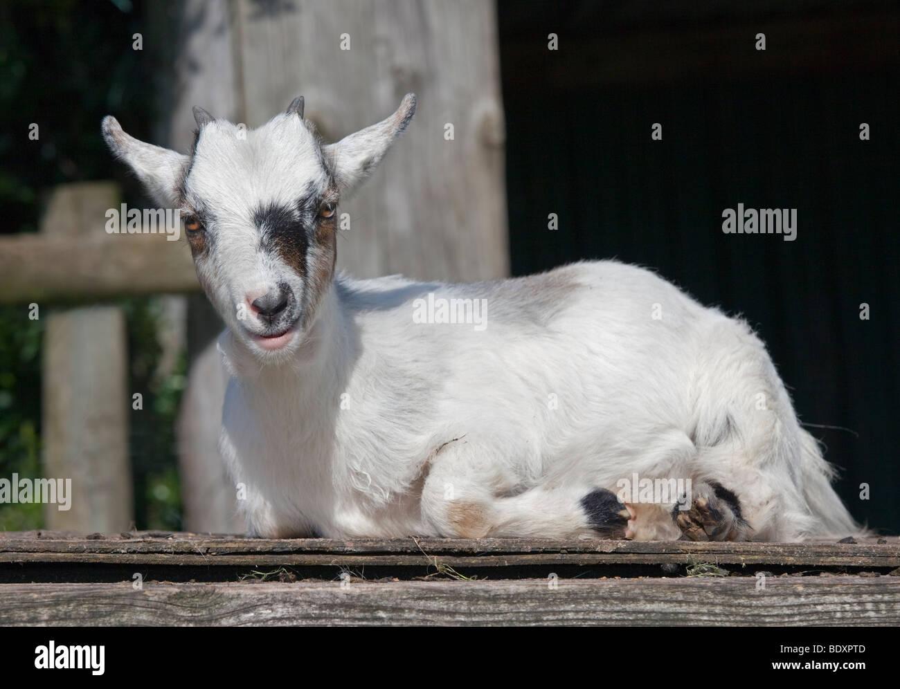 White Pygmy Goat Kid - Stock Image