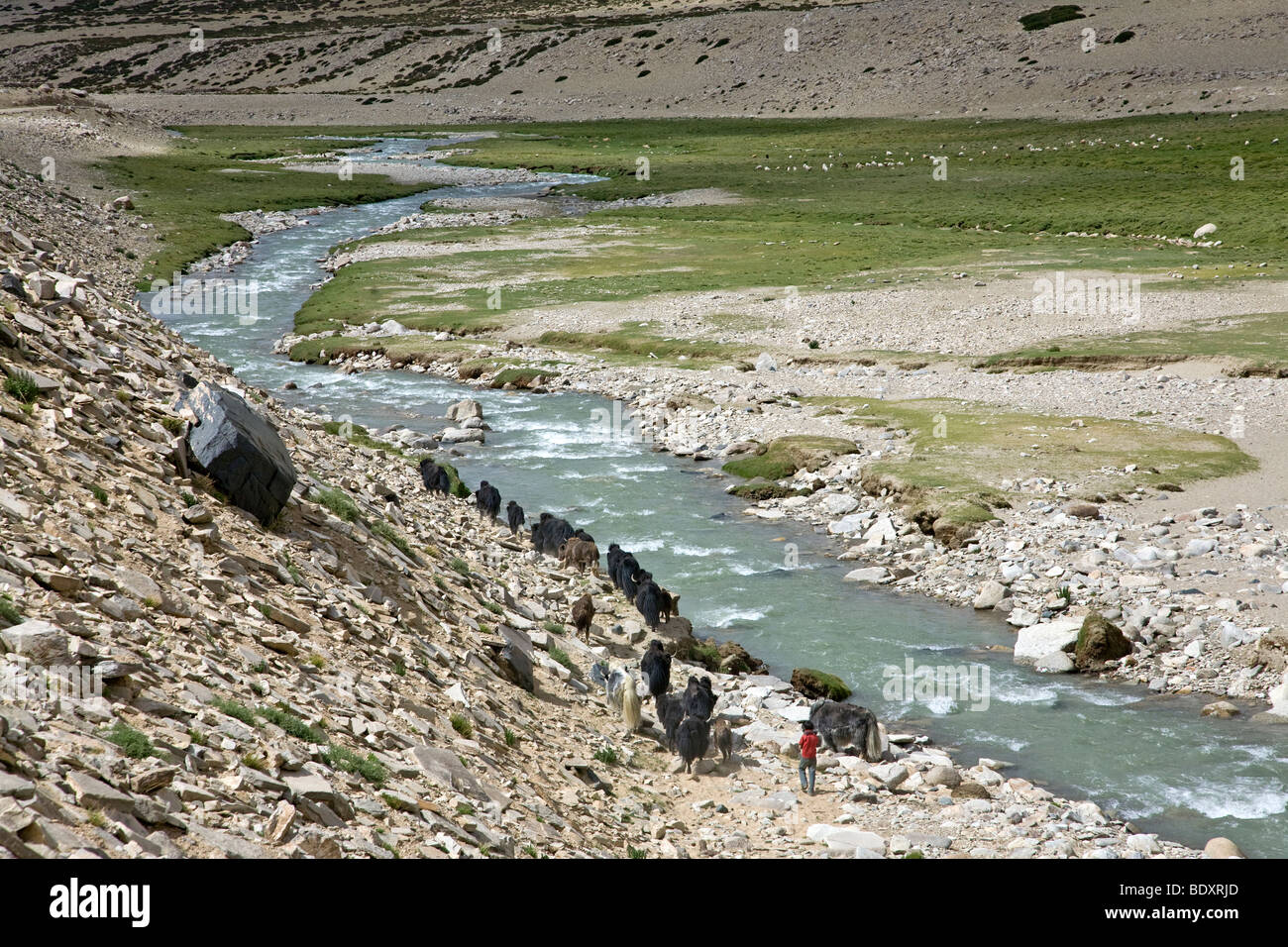Herd of yaks and young shepherd. Rupsu Valley. Near Korzok village. Ladakh. India - Stock Image