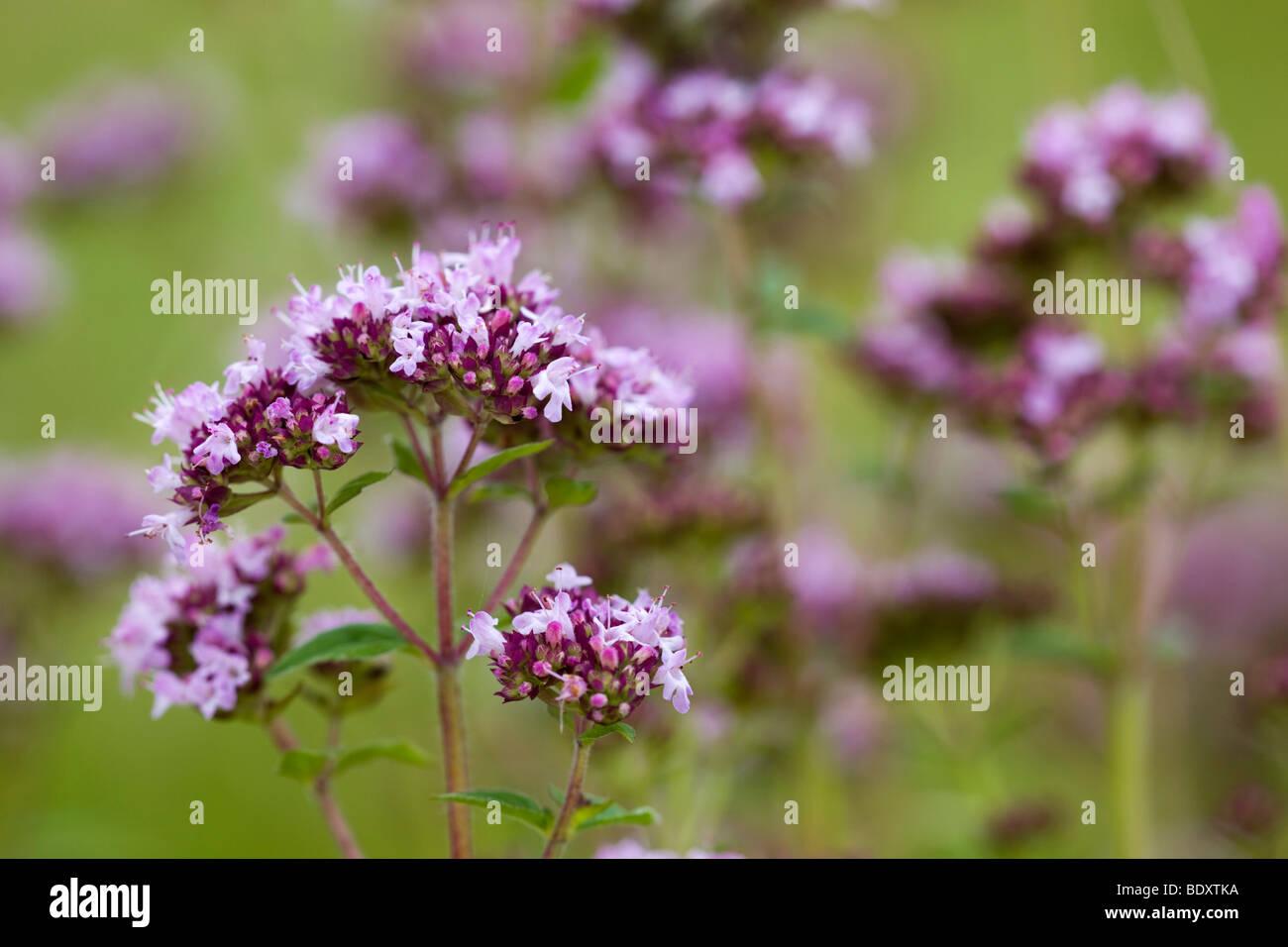 marjoram; Origanum vulgare - Stock Image
