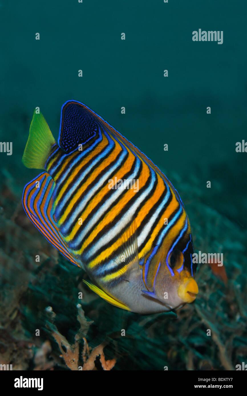 Regal angelfish, (Pygoplites diacanthus), Bali, island, Lesser Sunda Islands, Bali Sea, Indonesia, Indian Ocean, - Stock Image