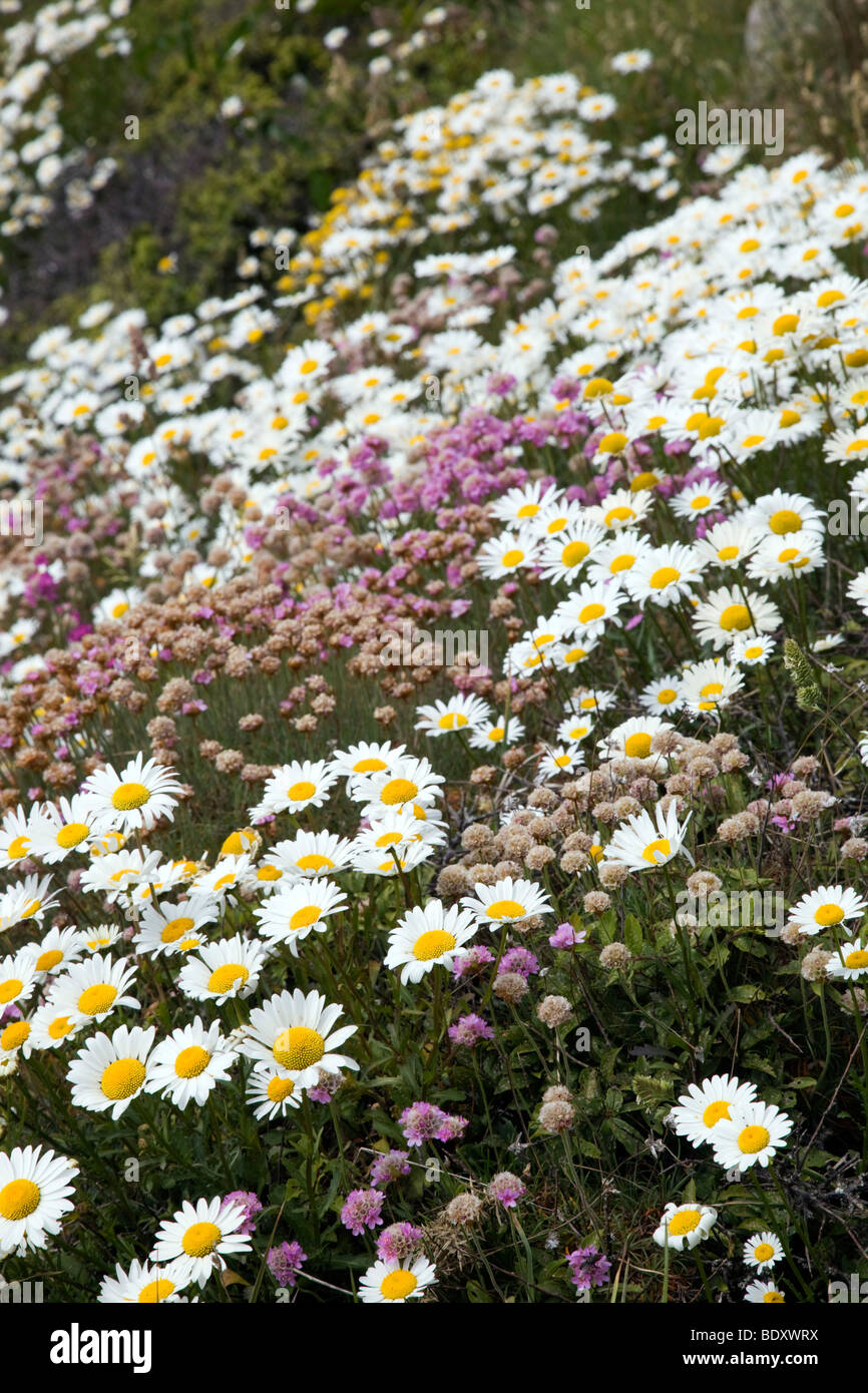 oxeye daisies; Leucanthemum vulgare; and thrift; cornwall Stock Photo