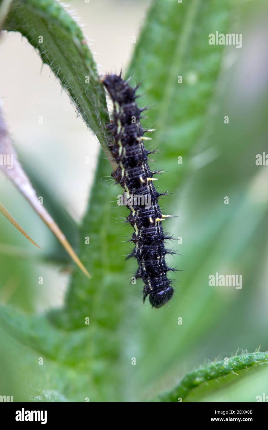 painted lady caterpillar; Vanessa cardui; cornwall - Stock Image