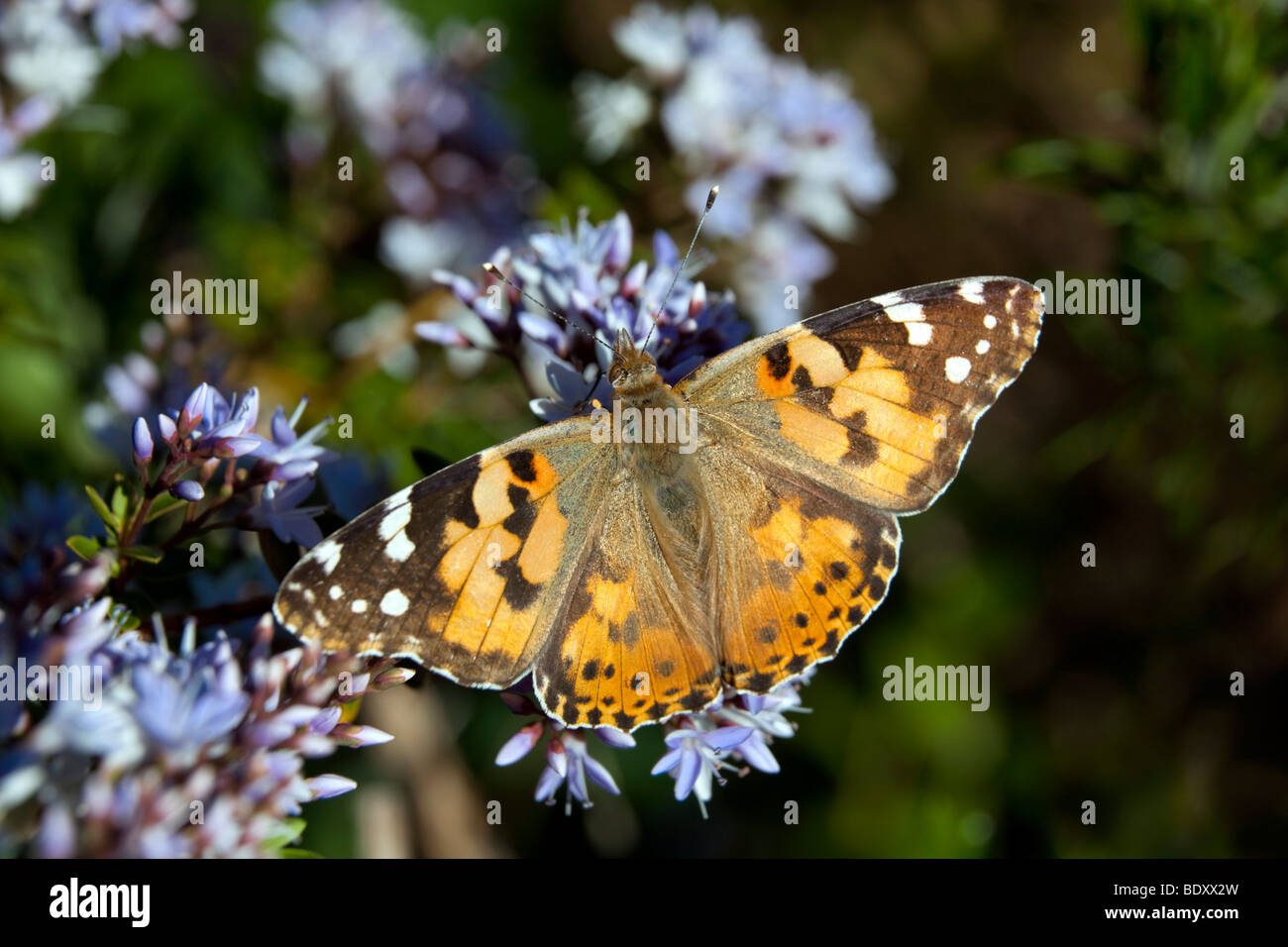 painted lady; Vanessa cardui; cornwall - Stock Image