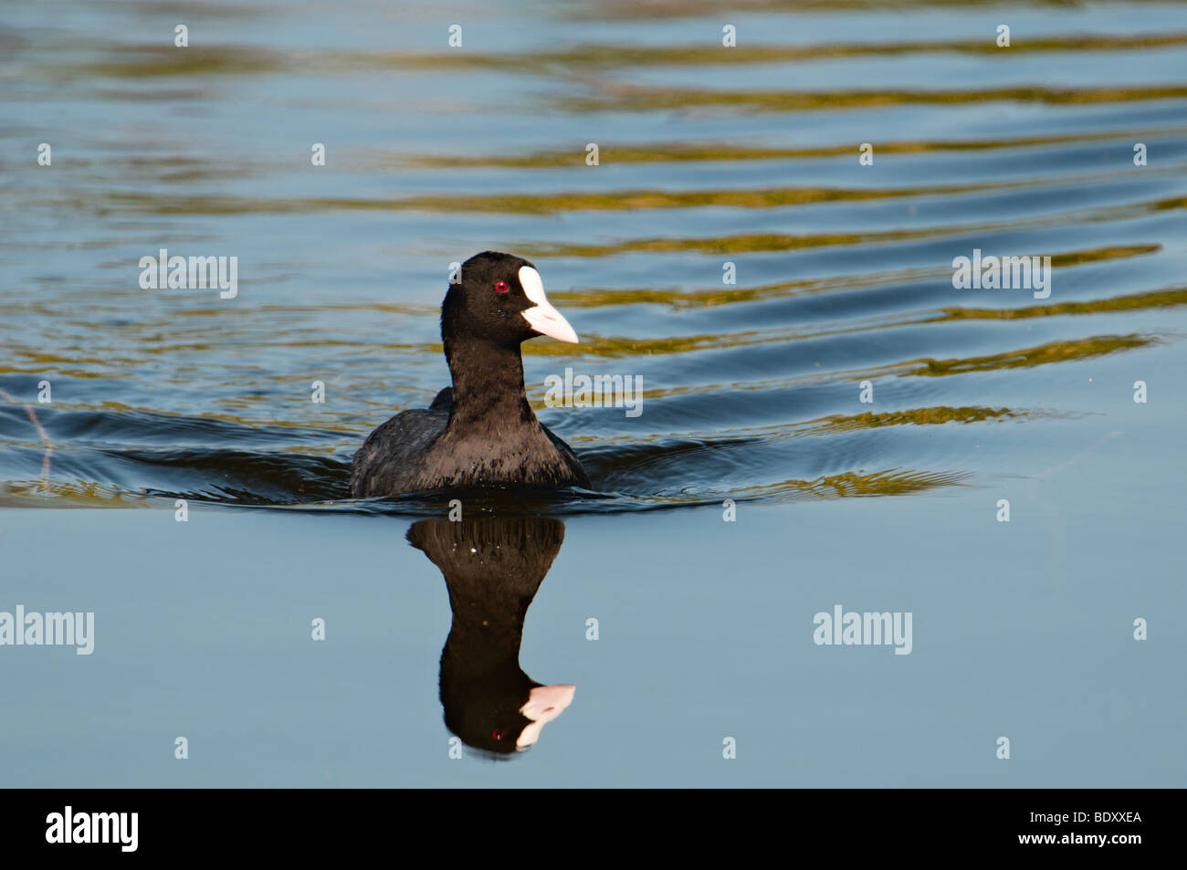 Eurasian coot (Fulica atra) with mirror in the water - Stock Image