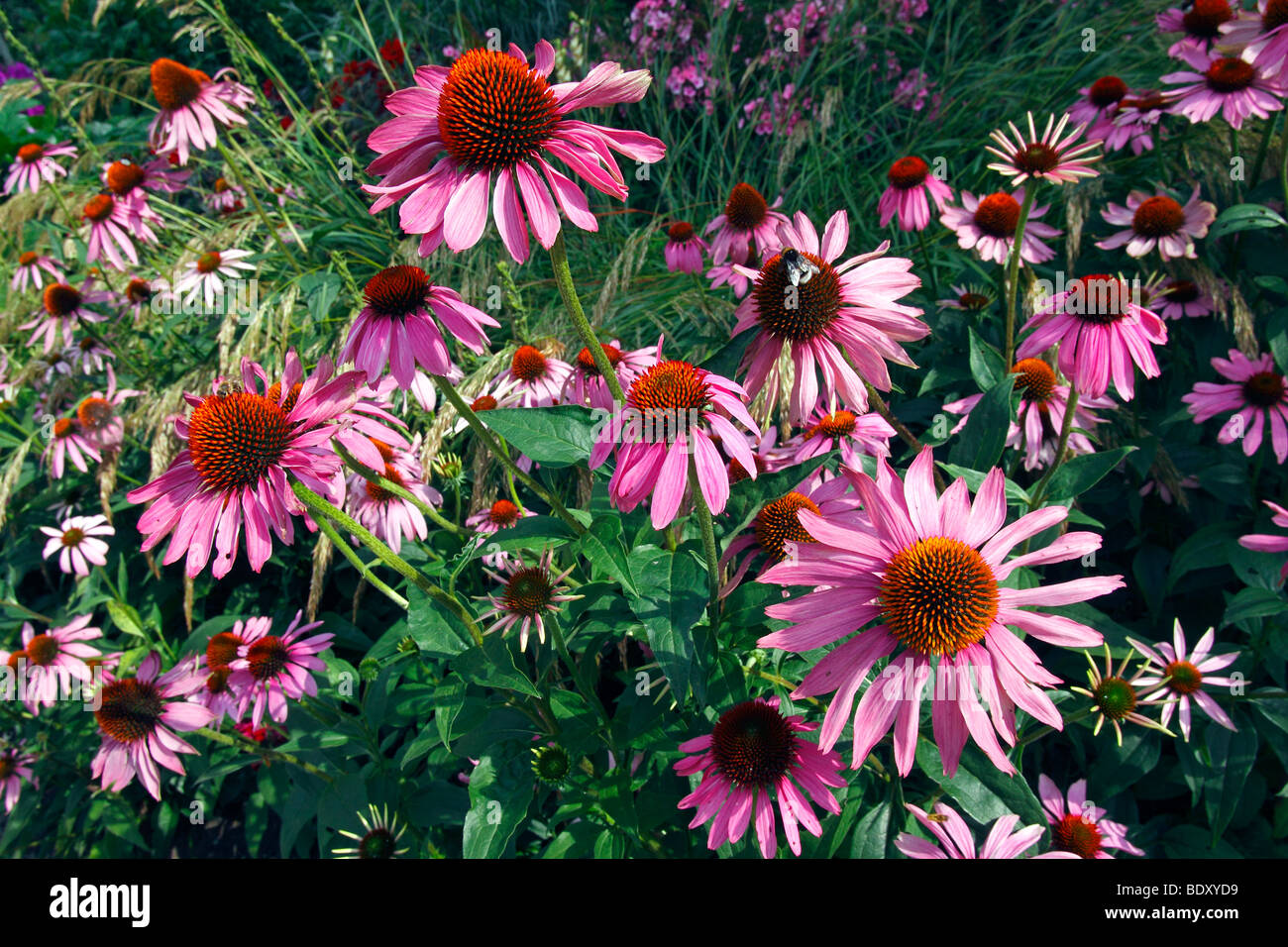 Flowering Purple Cone Flower (Echinacea purpurea), medical plant - Stock Image