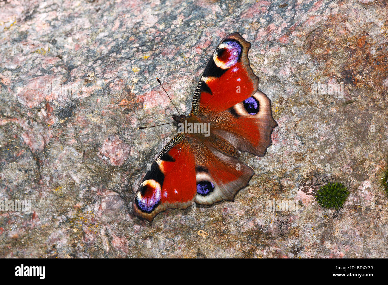 Peacock butterfly (Inachis io) taking a sunbath on a stone - Stock Image