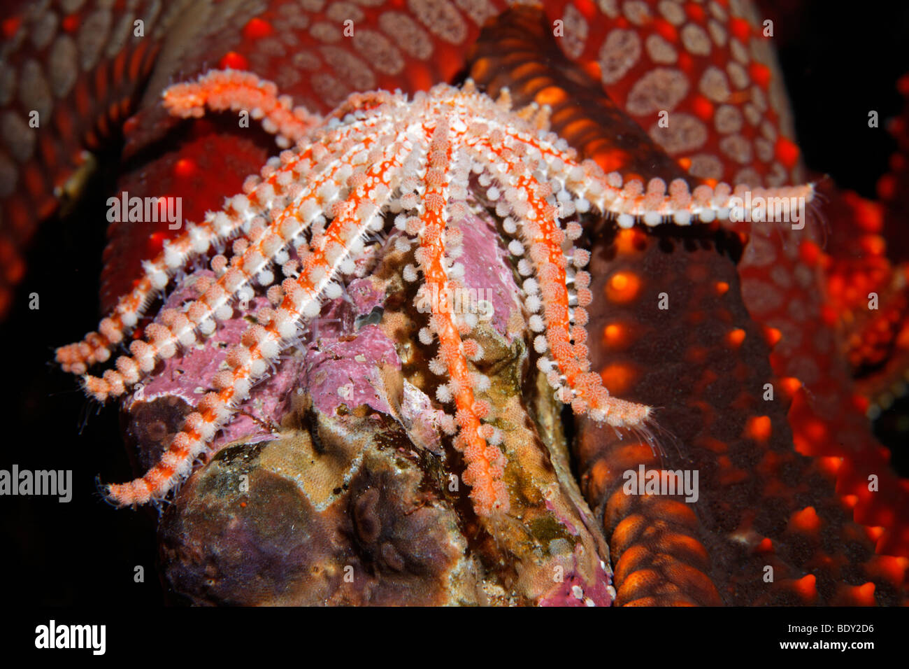 Unknown Starfish (Asteroidae) in front of a Knobby Star (Pentaceraster cumingi), Cousin Rock, UNESCO World Heritage - Stock Image