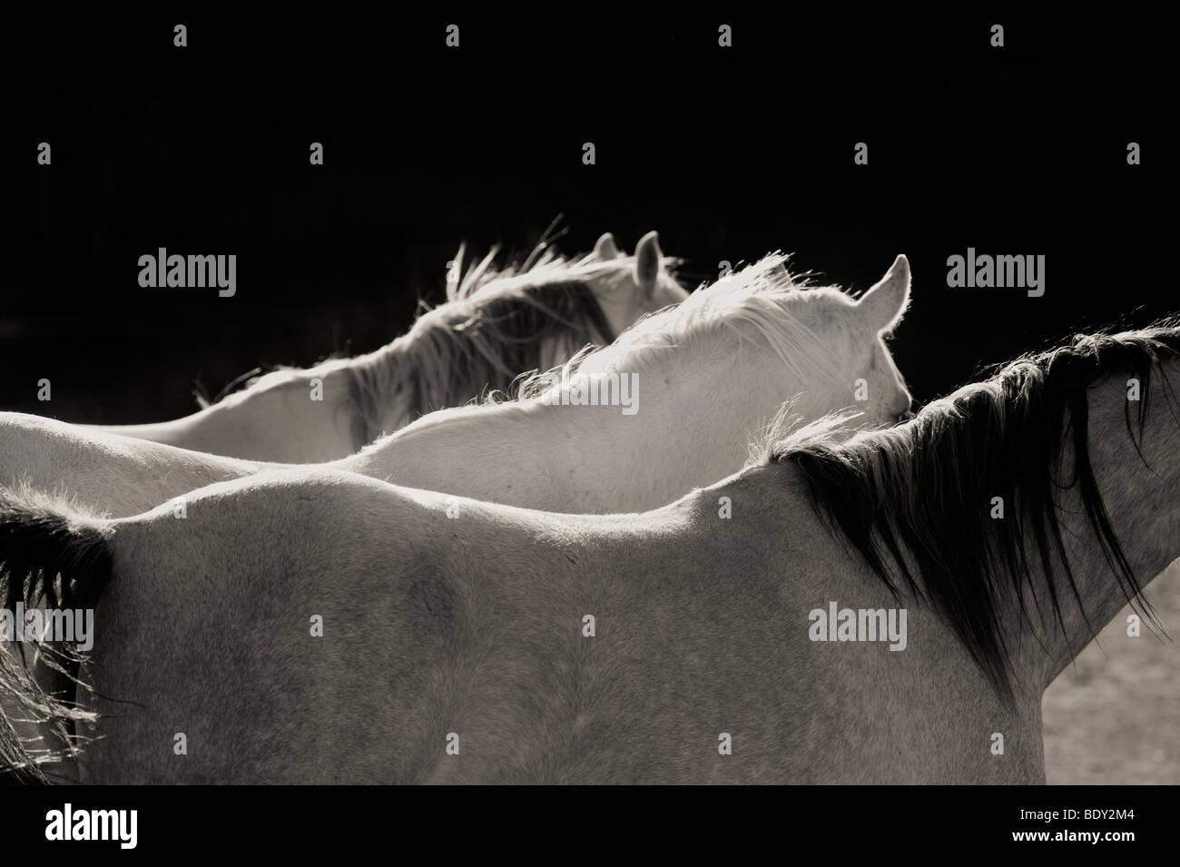 Three Horses in a Row - Stock Image