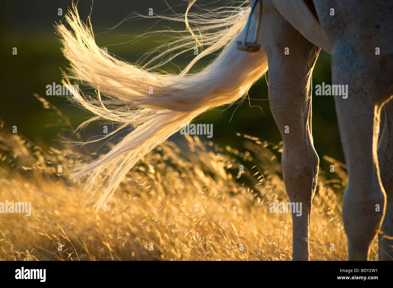 Horses Tail in Sunlight - Stock Image