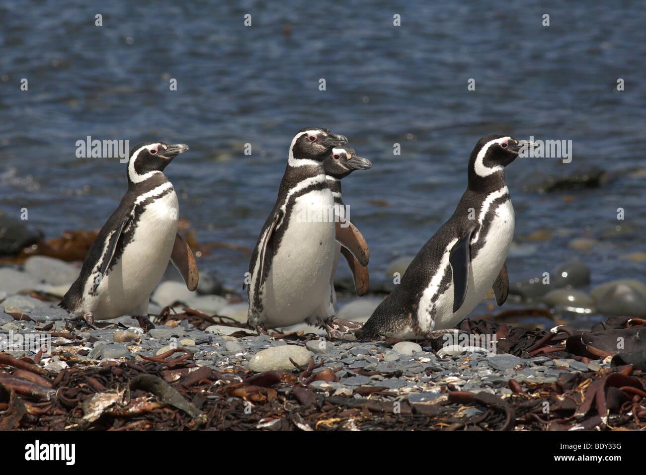 Magellanic Penguins (Spheniscus magellanicus), Falkland Islands Stock Photo